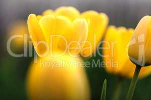 Several yellow tulips