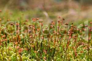 Close up of beautiful moss,Heath Pearlwort (Sagina subulata)