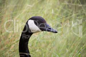Canada Goose - Branta Canadensis, head-shot