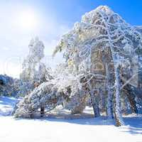 Snow-covered pine trees, blue sky and sun.