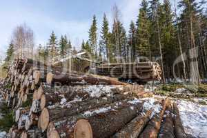 Timber harvesting. Logger working in winter forest