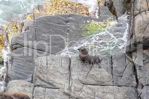 Neuseeländischer Seebär (Arctocephalus forsteri)