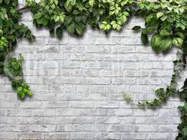 climbing plant on the white brick wall