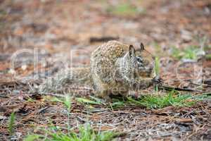 California Ground Squirrel, Otospermophilus beecheyi, camouflaged
