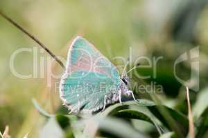 Coastal Green Hairstreak, Callophrys dumetorum, camouflages on a green plant