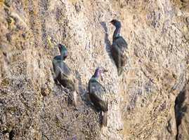 Pelagic Cormorants (Phalacrocorax pelagicus) hanging onto a cliff
