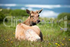 Tule Elk Cow - Cervus canadensis nannodes, Point Reyes National Seashore, California