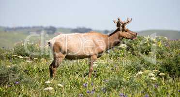 Tule Elk Bull - Cervus canadensis nannodes, Point Reyes National Seashore, California