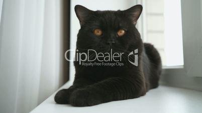 British black cat lies on a white windowsill