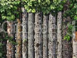 climbing plant on a wooden fence of logs