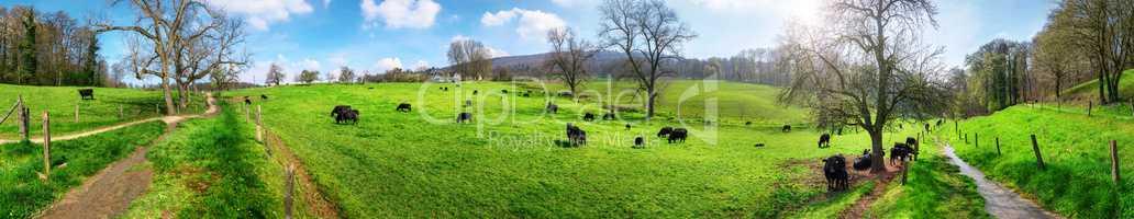 Panorama mit ländlicher Idylle, Kühe weiden in schöner Landsc