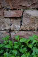 Sandstein  Mauer  mit Brennnessel