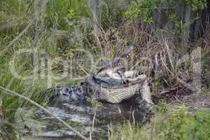 Large Florida Alligator Eating