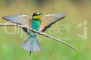 Bee-eater spreading wings