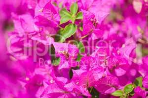 Blossom Bougainvillea