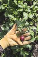 Picking radishes in the garden