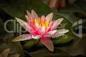 Detail of the waterlily