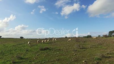 Flock of Sheep Grazing in Meadow, sunny day