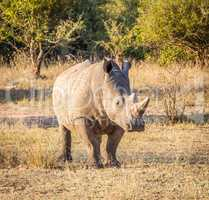 Starring White rhino in the Kruger National Park