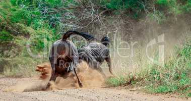 Fighting Blue wildebeest in the Kruger National Park