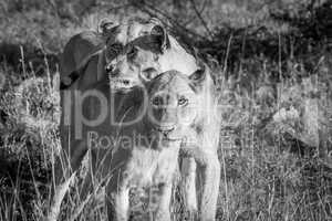 Bonding Lions in black and white in the Kruger National Park