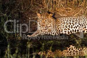 Leopard at night in the Spotlight in the Sabi Sands