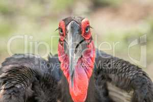Starring Southern ground hornbill in the Kruger National Park