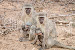 Two Vervet monkeys with two babies in the Kruger National Park