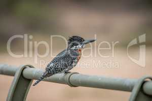 Giant kingfisher on a bridge in the Kruger National Park