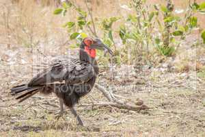 Southern ground hornbill with a Lizard in the Kruger National Park