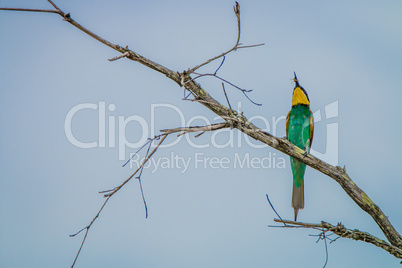 European bee-eater with a Bee in the Kruger National Park