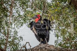 Southern ground hornbill in a tree in the Kruger National Park