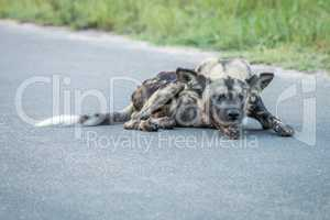 African wild dog laying on the road in the Kruger National Park