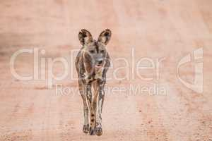African wild dog walking towards the camera in the Kruger National Park