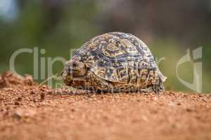 Leopard tortoise on the ground in the Selati Game Reserve
