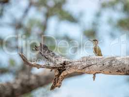 Golden-tailed woodpecker on a branch in the Kruger National Park