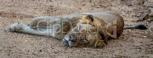 Laying Lion in the Kapama Game Reserve