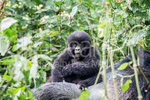 Baby Mountain gorilla on a Silverback in the Virunga National Park