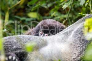 Baby Mountain gorilla hiding behind a Silverback in the Virunga National Park
