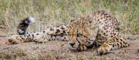 Laying Cheetah in the Selati Game Reserve