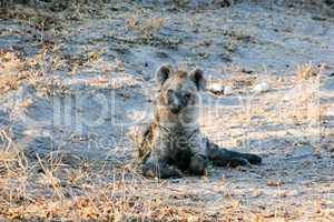 Starring Spotted hyena cub in the Makalali Game Reserve