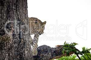 Leopard in a tree in the Makalali Game Reserve