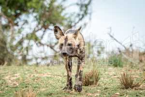 African wild dog walking towards the camera in the Kruger