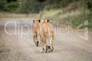 Two Lions cubs walking away in the Kapama Game Reserve.