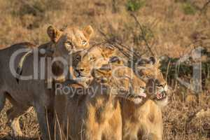 Three bonding Lions in the Kruger National Park.