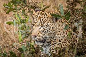 Leopard hiding in the bushes in the Sabi Sands.