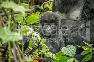 Starring baby Mountain gorilla in the Virunga National Park.