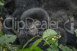 Baby Mountain gorilla in the Virunga National Park.