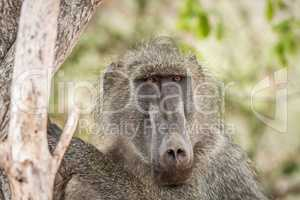 Baboon starring in the Kruger National Park, South Africa.