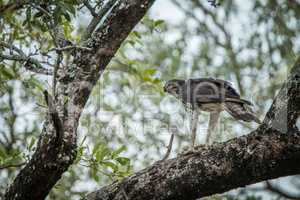 Martial eagle with a kill in a tree in the Kruger National Park.
